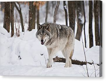 Canvas Print featuring the photograph Timber Wolf In Winter Forest by Wolves Only