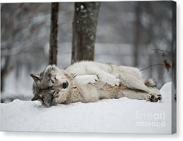 Timber Wolf In Winter Canvas Print by Wolves Only