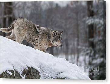 Timber Wolf On Hill Canvas Print by Wolves Only
