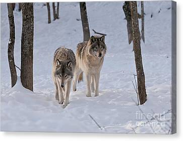 Canvas Print featuring the photograph Timber Wolf Pair  by Wolves Only