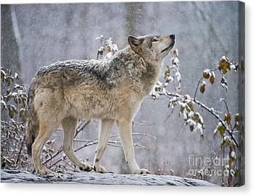Timber Wolf Pictures 188 Canvas Print by Wolves Only