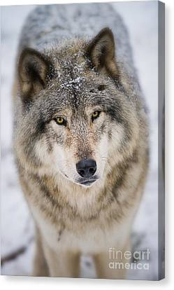 Timber Wolf Pictures 254 Canvas Print by Wolves Only