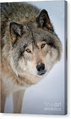 Timber Wolf Pictures 255 Canvas Print by Wolves Only