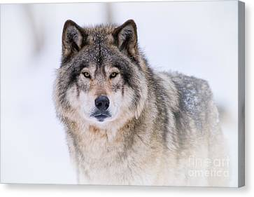 Timber Wolf Pictures 256 Canvas Print by Wolves Only