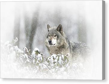 Timber Wolf Pictures 279 Canvas Print by Wolves Only