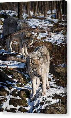 Timber Wolf Pictures 957 Canvas Print by World Wildlife Photography