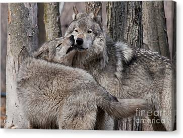Canvas Print featuring the photograph Timber Wolves Playing by Wolves Only