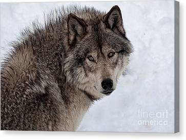 Canvas Print featuring the photograph Timberwolf At Rest by Bianca Nadeau