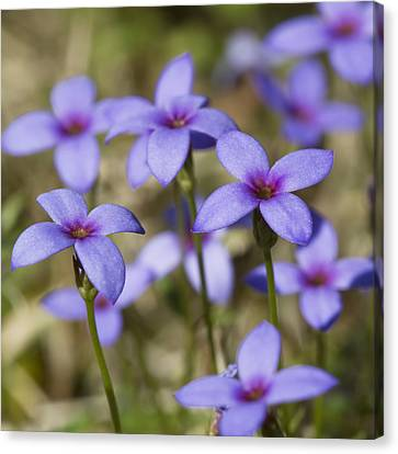 Tiny Bluet Wildflowers Canvas Print