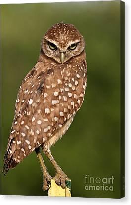 Tiny Burrowing Owl Canvas Print by Sabrina L Ryan