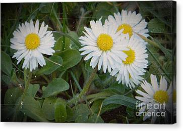 Tiny Daisies Canvas Print by Chalet Roome-Rigdon
