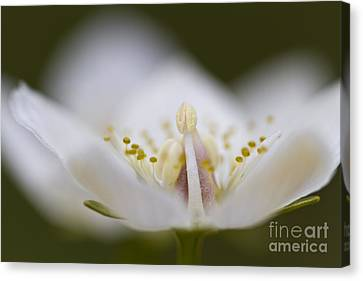 Tiny Little Arctic Wildflower Canvas Print by Heiko Koehrer-Wagner