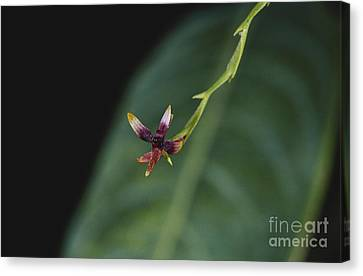 Tiny Orchid In Costa Rica Canvas Print by Gregory G. Dimijian, M.D.
