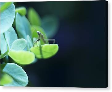 Canvas Print featuring the photograph Tiny Praying Mantis On Sedum by Rebecca Sherman