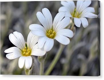 Tiny White Flowers #1 Canvas Print