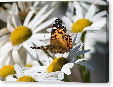 Canvas Print featuring the photograph Tip-toeing On Daisies by Greg Graham