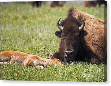Tired Bison Cow And Calf Canvas Print by Mike Cavaroc