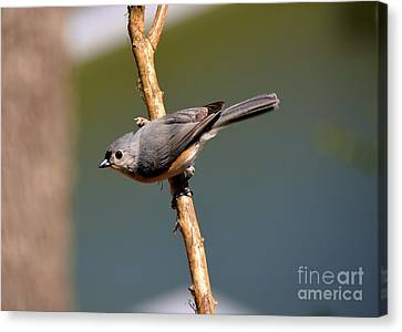 Canvas Print featuring the photograph Titmouse by Lisa L Silva