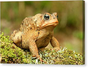 Toad Canvas Print by John Bell