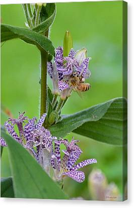Toad Lily And Hover Fly Canvas Print