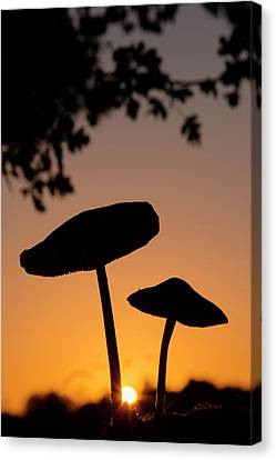 Toadstools At Sunset Canvas Print