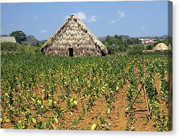 Nicotiana Tabacum Canvas Print - Tobacco Field And Drying House, Cuba by Science Photo Library