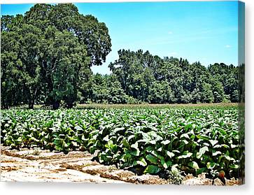 Canvas Print featuring the photograph Tobacco Field by Linda Brown