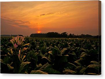 Tobacco Flowers At Dawn  Canvas Print