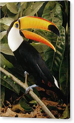 Toco Toucan Ramphastos Toco Calling Canvas Print by Claus Meyer