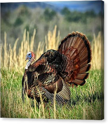 Tom Turkey Canvas Print by Jaki Miller