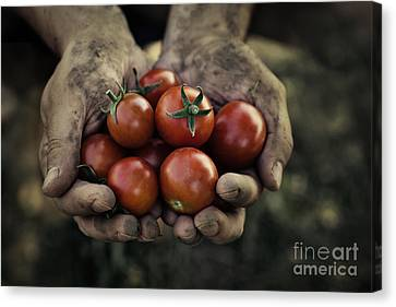 Tomato Harvest Canvas Print by Mythja  Photography