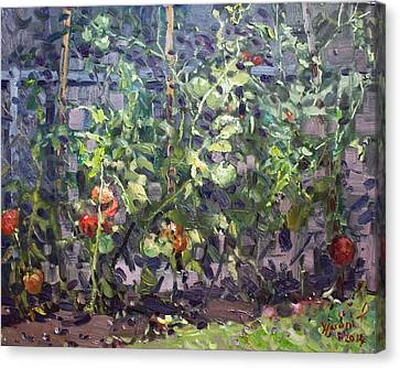 Tomatoes In Viola's Garden  Canvas Print by Ylli Haruni