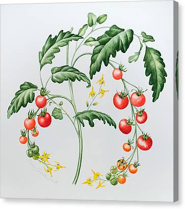 Tomatoes Canvas Print by Sally Crosthwaite