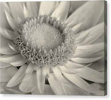 Toned Strawflower Canvas Print by David and Carol Kelly