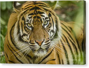 Too Close Canvas Print by Darren Wilkes