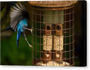 Too Small For A Stellar Jay Canvas Print by Eti Reid