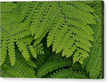 Toothed Ferns Canvas Print by Gail Maloney