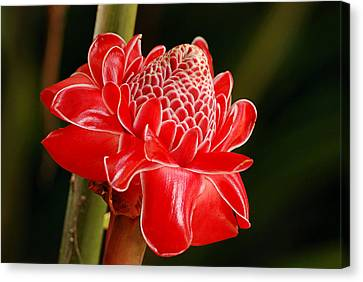 Canvas Print featuring the photograph Torch Ginger by Lorenzo Cassina