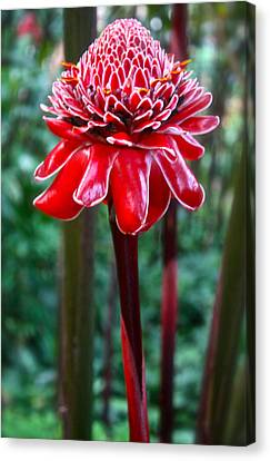 Torch Ginger In Hawaii Canvas Print by Venetia Featherstone-Witty