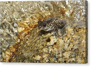 Torrent Treefrog Aka Waterfall Frog Canvas Print by Martin Willis
