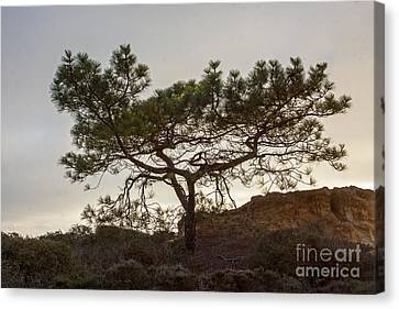 Torrey Pine Tree Canvas Print by Darleen Stry