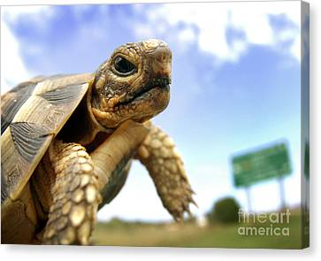 Tortoise On Roadside Canvas Print