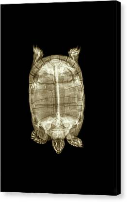 Radiograph Canvas Print - Tortoise Under X-ray by Photostock-israel