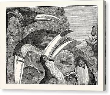 Toucans Canvas Print by English School