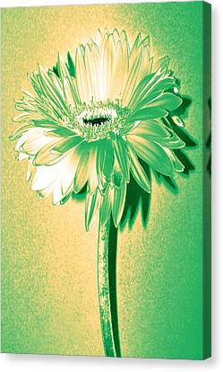 Touch Of Turquoise Zinnia Canvas Print by Sherry Allen