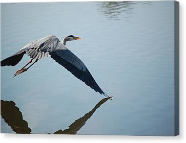 Touch The Water With A Wing Canvas Print by Randy J Heath
