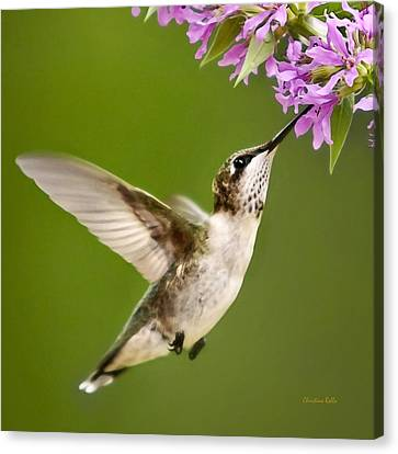 Touched Hummingbird Square Canvas Print by Christina Rollo
