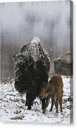 Canvas Print featuring the photograph Toughing It Out by Gary Hall