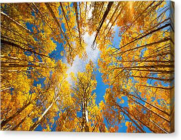 Towering Aspens Canvas Print by Darren  White