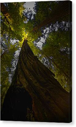 Towering Giants Canvas Print by Kandy Hurley